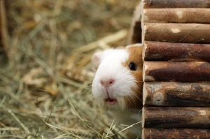 Can a Guinea Pig Die From Stress?