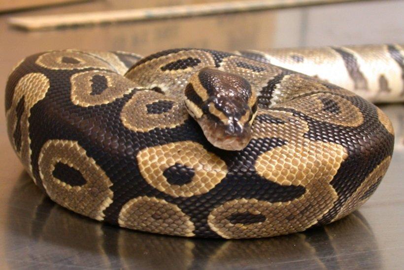 Can Pet Pythons be Dangerous?