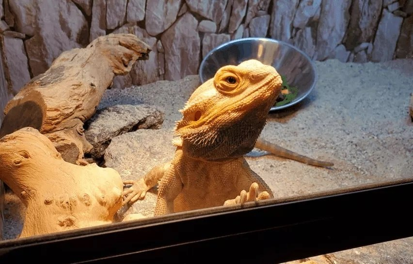 How Often Should You Take Your Bearded Dragon Out Of Its Cage?