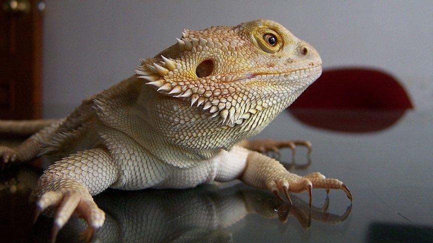 How Often Should I Clip my Bearded Dragons Nails?