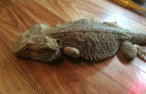 What Do You Feed a Malnourished Bearded Dragon?