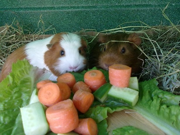 What foods can guinea pigs eat
