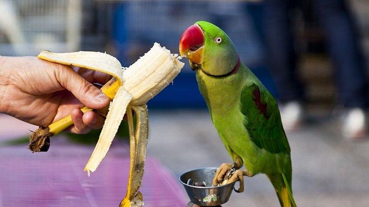 amazon parrot eating treats