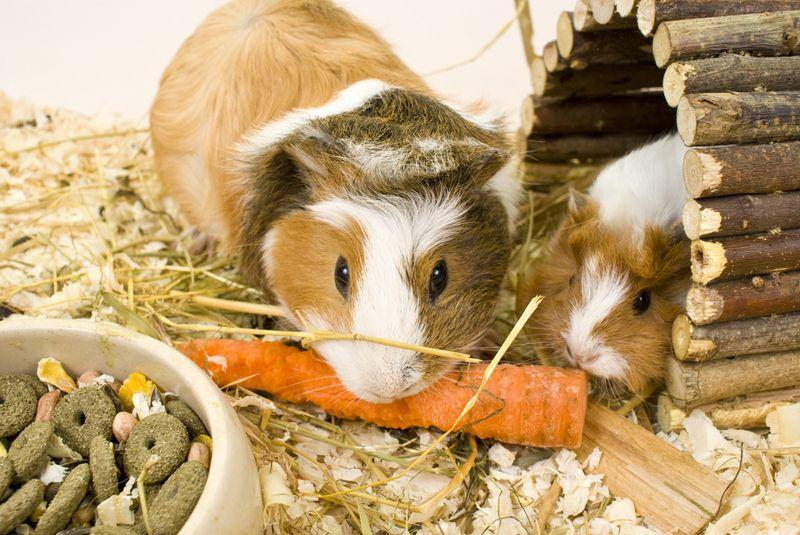 are guinea pigs herbivores carnivores or omnivores