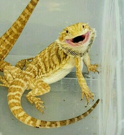 bearded dragon happy