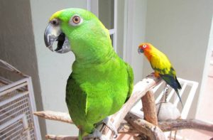 Do Amazon Parrots get along with Conures?