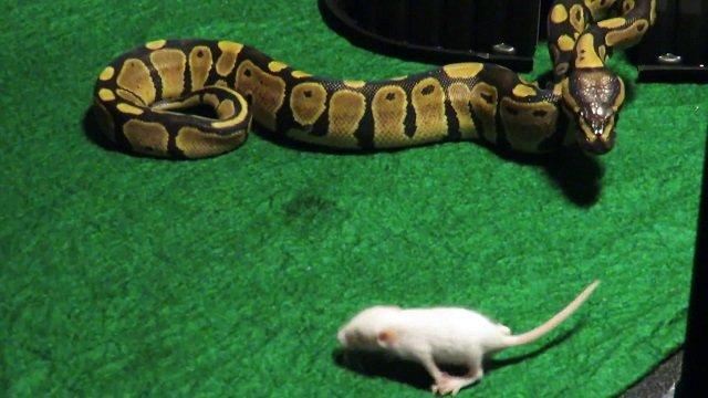 feeding python