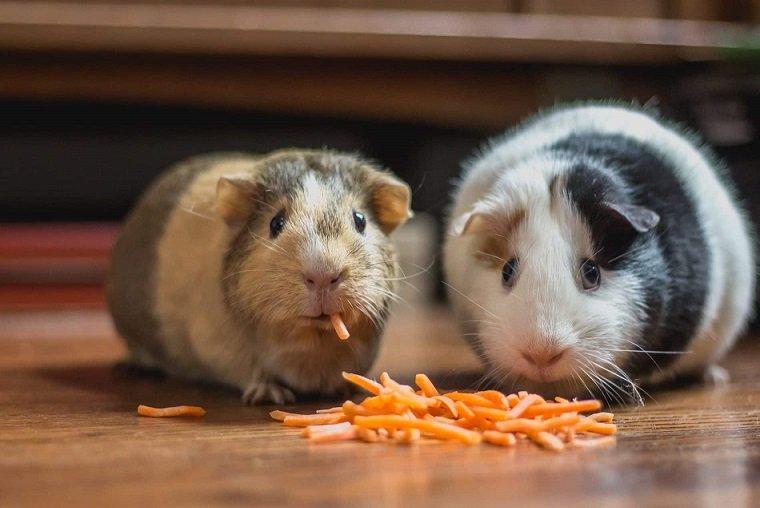 Are Guinea Pigs Omnivores or Herbivores?