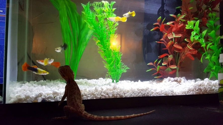 Can You Use A Fish Tank For A Bearded Dragon