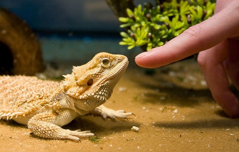 How To Tell If Your Bearded Dragon Likes You?