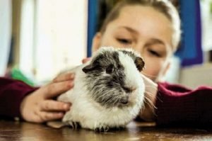 How Much Playtime Do Guinea Pigs Need? Can They Roam Around The House?