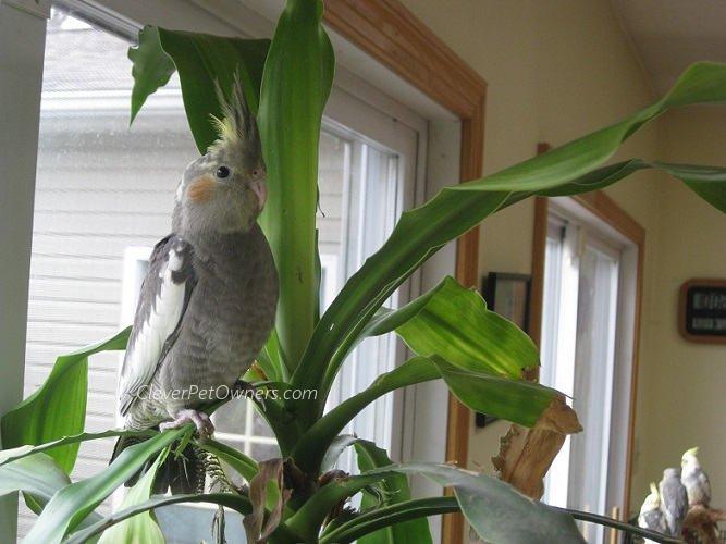 cockatiel standing on plant
