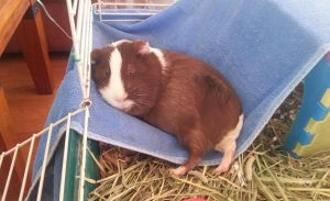 Guinea Pigs Heat Stroke – What to do? How to Prevent?