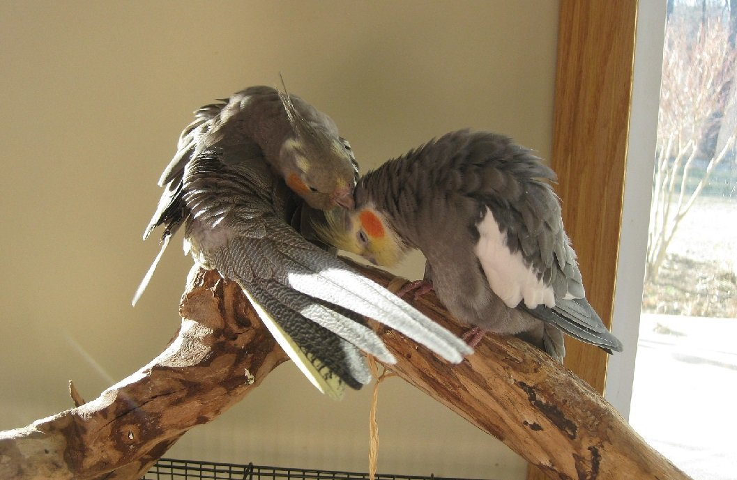 How to Identify A Cockatiel's Gender? Male And Female Differences
