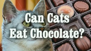 Can Cats Eat Chocolate? And Why!