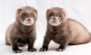 Can Two Male Ferrets Live Together