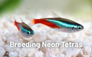 How Many Babies Do Tetra Fish Have At One Go?