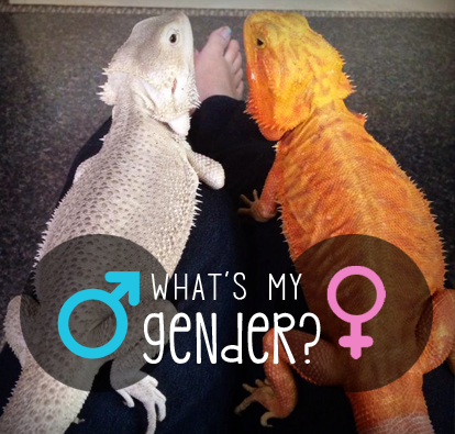 How To Identify Bearded Dragon Gender? Can Bearded Dragons Change Gender?