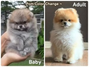 Pomeranians change fur color as they age
