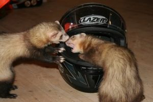 ferrets fight