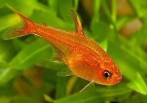How Long Do Tetra Fish Live