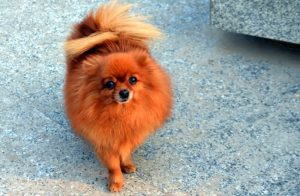 the red Pomeranian