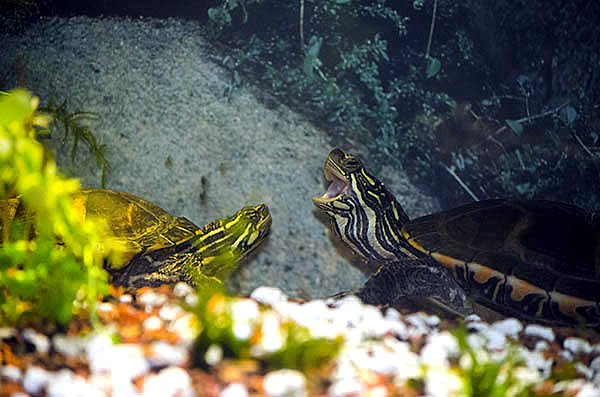 Can Two Turtles Live In The Same Tank?