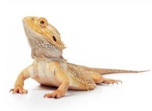 A-Bearded-Dragon