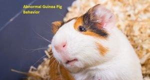 Abnormal Guinea Pig Behavior