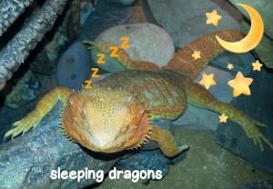 Can A Bearded Dragon Sleep In Your Bed?