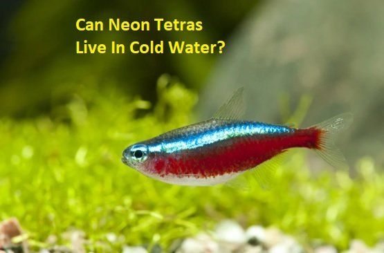 Can Neon Tetras Live In Cold Water
