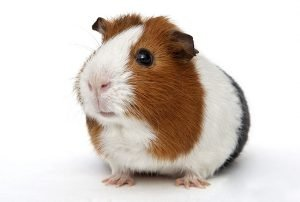 Can One Guinea Pig Live Alone? How To Keep It Happy?
