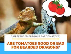 Can My Bearded Dragon Eat Tomatoes?