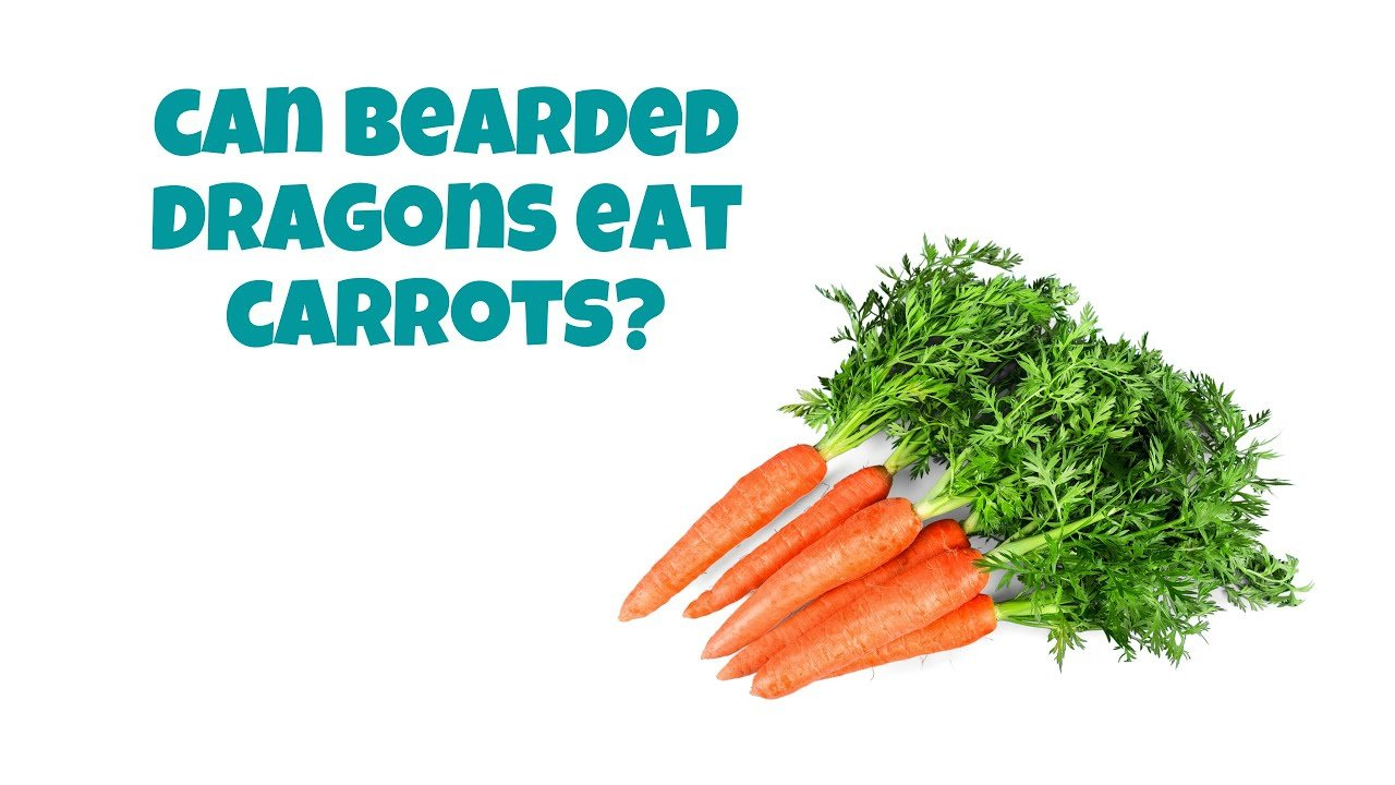 Can Bearded Dragons Eat Cooked Carrots?