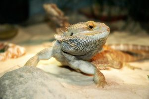 Can Bearded Dragons Use Eco Earth