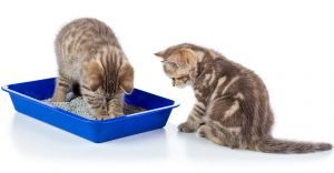 Can Sibling Cats Share A Litter Box? Does Gender Matter?