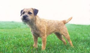 Do Border Terriers Make Good Pets?