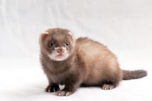 Do Ferrets Wag Their Tail When They Love You?