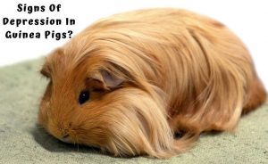 Guinea Pig loneliness