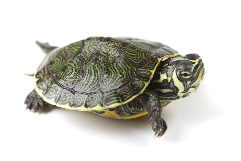 How Long Can Turtles Go Without Water?