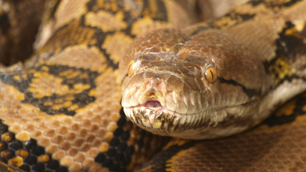 How Do Pythons Protect Themselves?