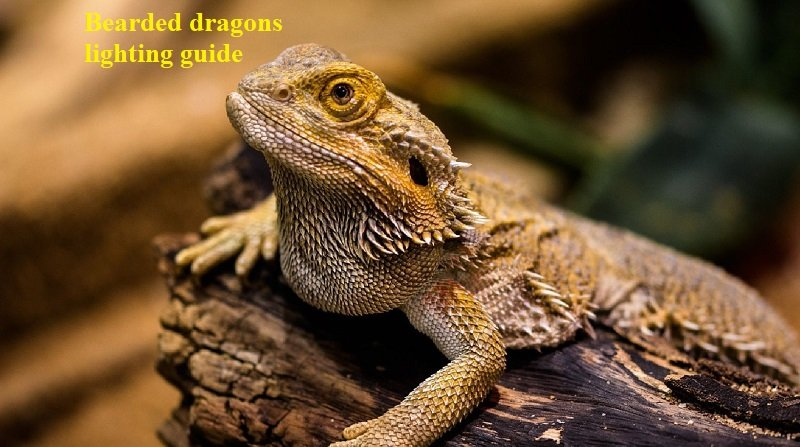 How Much Light Do Bearded Dragons Need?