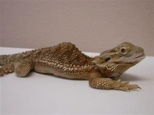 Can Bearded Dragons Recover From Metabolic Bone Disease?