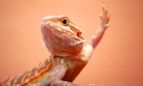 What Does It Mean When A Bearded Dragon Waves At You?