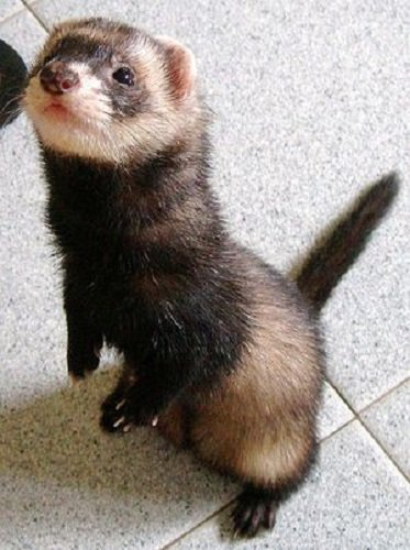 Why Do Ferrets Wag Their Tails? Are They Happy Or Sad?