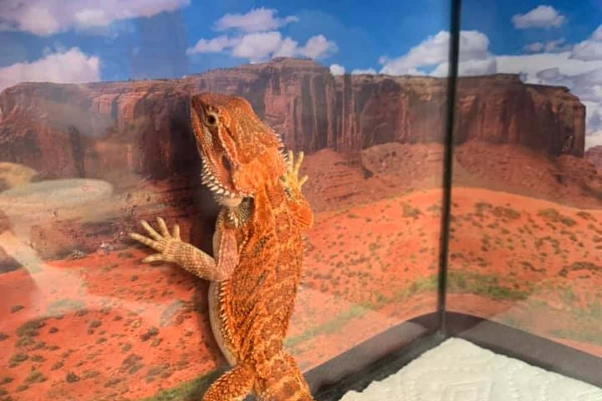 Why Does My Bearded Dragon Sleep Standing Up Against The Glass