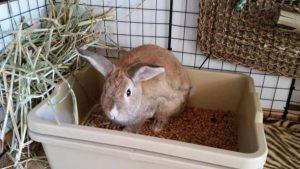 Will Rabbits Share A Litter Box?