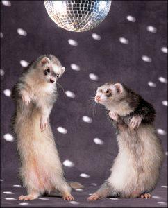 dancing ferrets