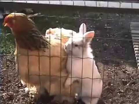 Can You Put Chickens And Rabbits Together?