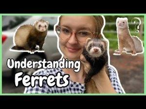 understand ferrets body languages